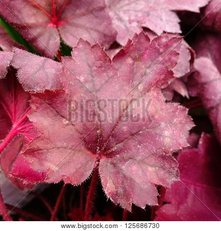 Red / pink foliage of a heuchera (Coral Bells) plant