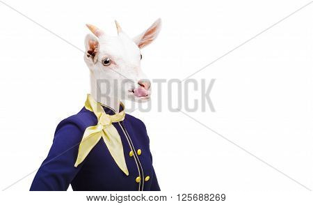 Humorous photo, portrait goat showing tongue in costume stewardess, isolated on white background