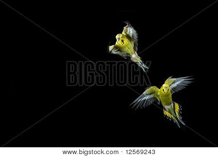 Flying Budgie