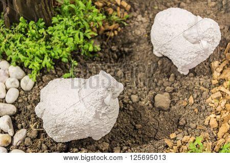 A white mini Sheep in My Garden