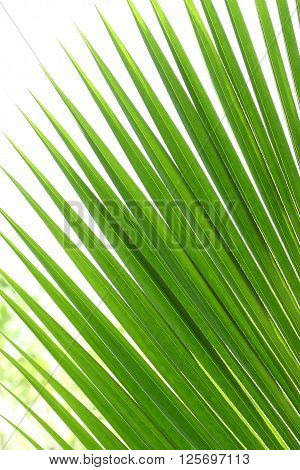 green leaf or coconut leaves on white background