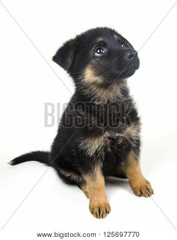 Cute one-month-old German shepherd puppy looking up (isolated on white)