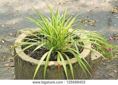 Green Leaves Of Chlorophytum Comosum. ( Spider Plant )