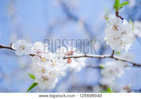 Beautiful apricot flowers against the background of a blue sky in the spring as a flower spring background (selective focus on the flowers)