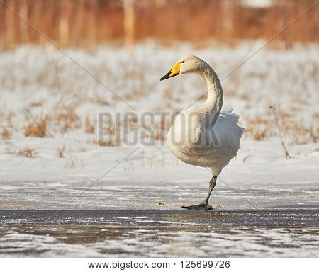 Swan Standing On One Leg