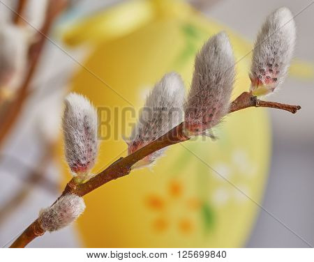 Pussy Willow Close-up