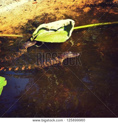 Baby alligators in the water