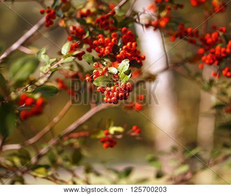 Vibrant red rowan berries in sun rays.