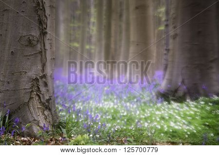 Spring flower fantasy. Wildflowers in the forest of Hallerbos, Belgium. Bluebells and wood anemone cover the forest floor and give it a magic feel.