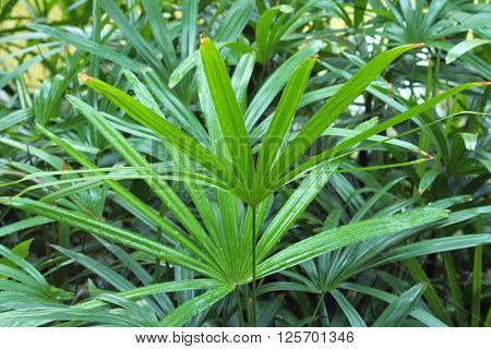 Leaf Of Palm Tree (livistona Rotundifolia) In Garden