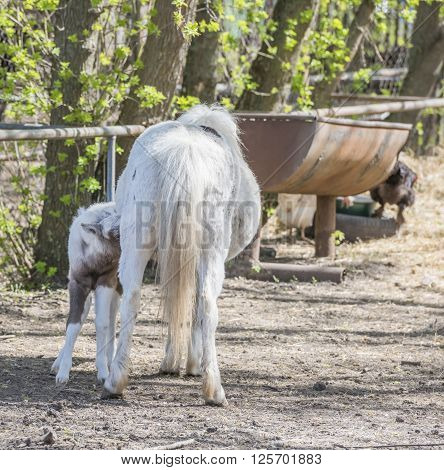 Pony Hatchling sucks mother's udder . April 10, 2016