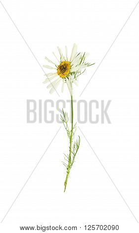Pressed and dried delicate flower chamomile (camomile) on stem with green leaves. Isolated on white background.