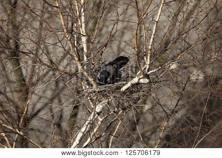 Raven nest view from above close to