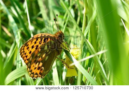 Dark green fritillary (Argynnis aglaja) at rest amongst grass. A large butterfly in the family Nymphalidae takes shelter low down amongst grass in a British meadow