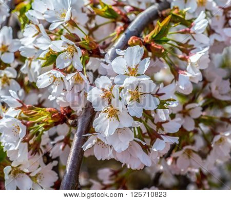 Pink blossoms on a branch in spring in close-up