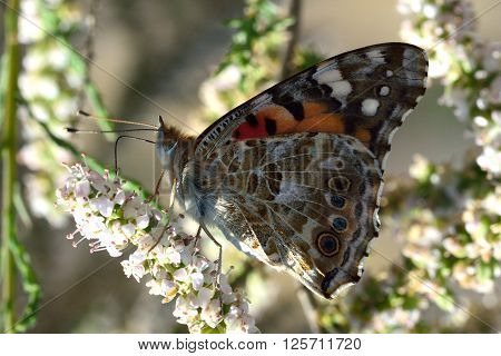 The Painted Lady (Vanessa cardui). Beautiful butterfly in the family Nymphalidae nectaring under dappled sunlight, with proboscis visible
