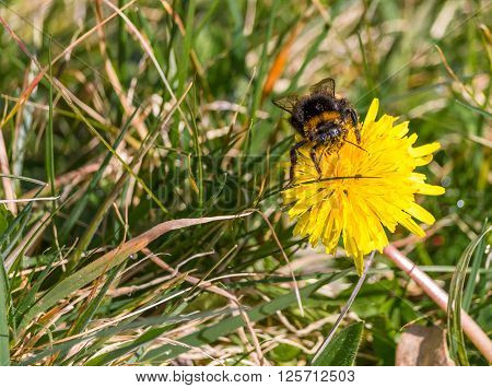 Bumblebee covered in pollen collecting more from a dandelion