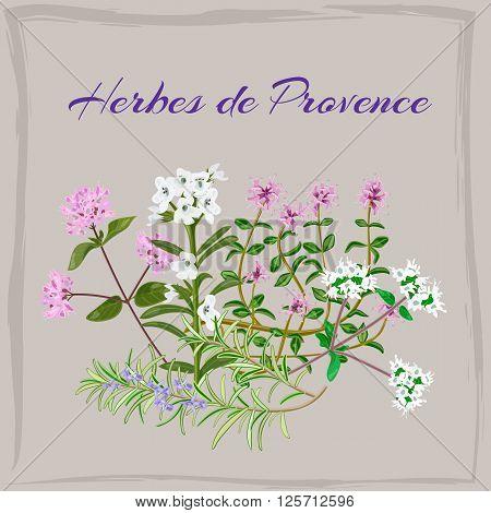 Herbes de Provence. Thyme Savory Oregano Marjoram Rosemary. Vector illustration.