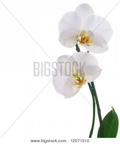 Beautiful White Orchid isolated on white
