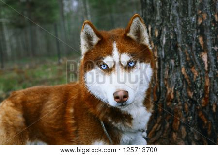 Red Husky - Dog with blue eyes. ** Note: Visible grain at 100%, best at smaller sizes