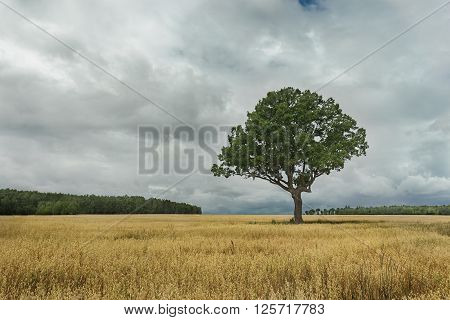 Summer landscape with dark storm clouds and old oak tree standing in yellow oat field