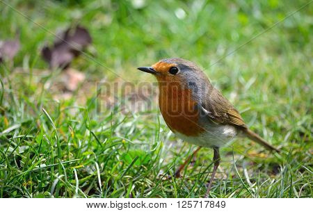 Close up of a Robin on grass