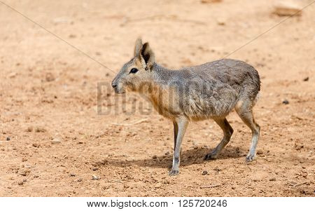 Patagonian mara (Dolichotis patagonum), also known as the Patagonian cavy, Patagonian hare or dillaby.