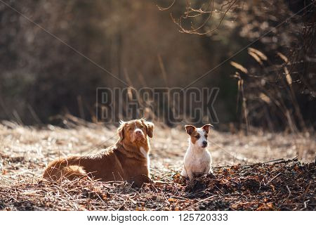 Dog Jack Russell Terrier And Dog Nova Scotia Duck Tolling Retriever  Walking In The Park