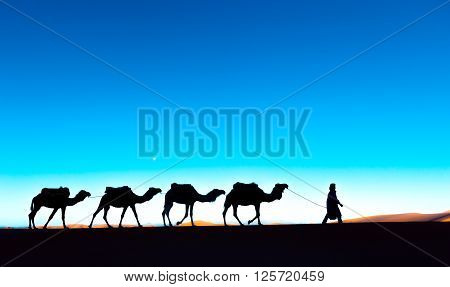 Camel caravan going through the sand dunes in the Sahara desert, Morocco. Camel in desert concept.