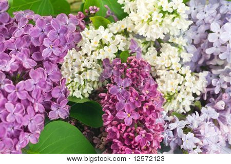 Beautiful Lilac Flowers background