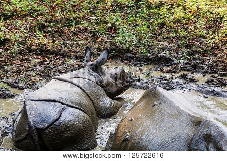 Rhino  in the wild, Chitwan national park, Nepal