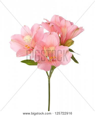 Pink flowers (Alstroemeria) isolated on white.