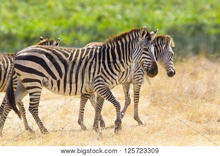 African zebras at the great plains in Ngorongoro Tanzania, Africa.