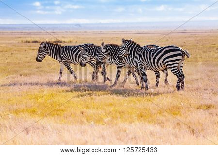 Four zebras walking in the wilderness of Africa, Masai Mara National Reserve