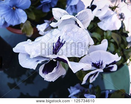White and blue pansies flowers with dew in outdoor. Picturesque view.  Blurred background. Closeup.