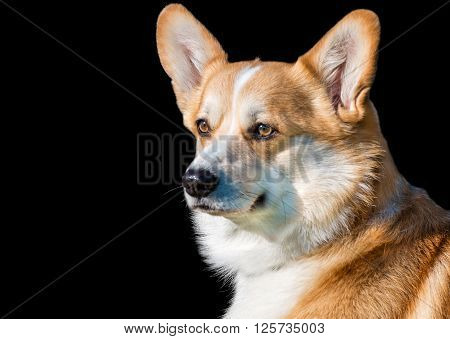 Cardigan Welsh corgi is on black background.