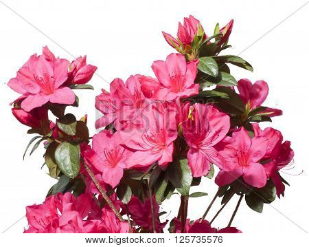 Pink azalea in bloom isolated on a white background
