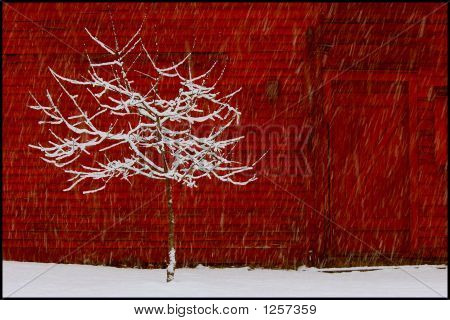 Apple Tree In Winter Snow Near Red Barn