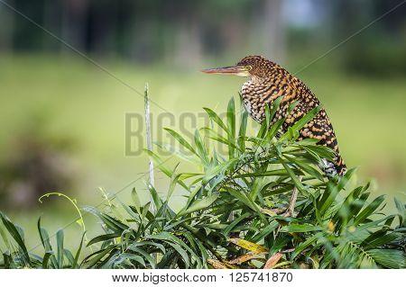 Rufescent Tiger-Heron (Tigrisoma lineatum) - Socó-boi - Brazil