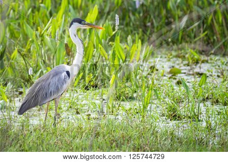 A Cocoi Heron (Ardea cocoi) standing in vegetation - Mato Grosso do Sul - Brazil
