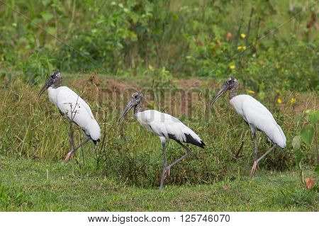 Three Wood Storks (Mycteria americana)standing in vegetation - Mato Grosso do Sul - Brazil