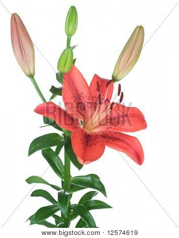 Beautiful Red Lily flower over white