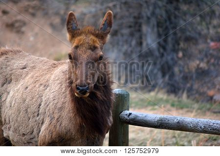 Brown Elk Chewing by a Wooden Fence