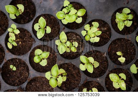 Potted seedlings growing in biodegradable peat moss pots from above.