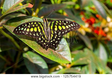 The Tailed Jay Butterfly aka Graphium agamemnon on a leaf