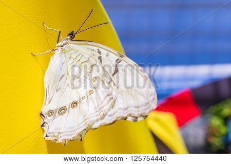 White Morpho butterfly on a yellow wall (Morpho polyphemus)