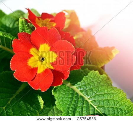 Floral background with beautiful bright spring flowers primrose. Spring landscape.