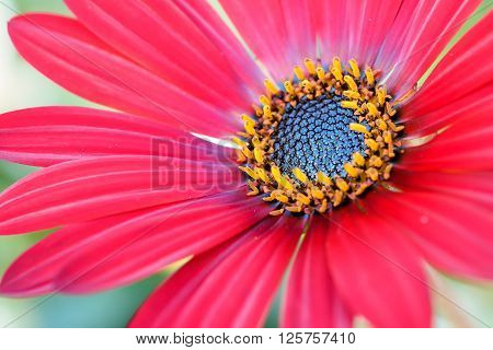 A bright red Arctotis daisy flower with pollen filled stamens