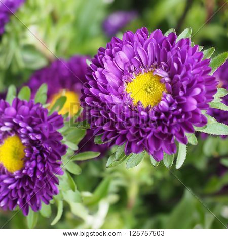 Purple Aster daisy flowers, with bright yellow centres, in closeup