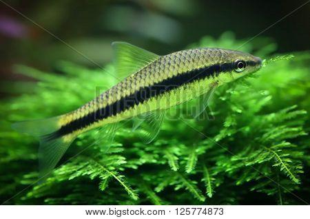 Close up of Siamese algae eater in planted aquarium